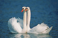Mute swan (Cygnus olor), pair courting, Flachsee, Aargau, Switzerland