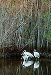 Wood storks, mangroves, Everglades National Park, Florida