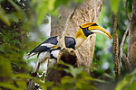 Male great Indian hornbill (Buceros bicornis) in forest canopy. Kaziranga National Park, Assam, India.