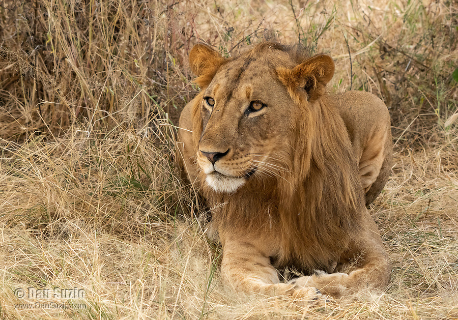 A young male Lion, Panthera leo  melanochaita, in Tarangire National Park, Tanzania