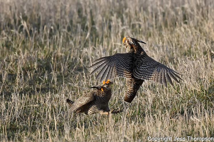 Greater Prairie Chickens on  a lek in Nebraska.