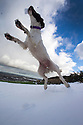 03/02/16 <br /> <br /> Fifteen-month-old springer spaniel, Chester, leaps to catch snowballs after overnight snowfall near Buxton in the Derbyshire Peak District.<br /> <br /> All Rights Reserved: F Stop Press Ltd. +44(0)1335 418365   +44 (0)7765 242650 www.fstoppress.com