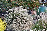 Pennisetum Grass flowering in small space backyard garden, Lundstrom Garden, design by Susan Morrison