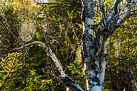 Spider webs backlit on a Paper Birch in the West Canada Lakes Wilderness Area in the Adirondack Mountains in New York State
