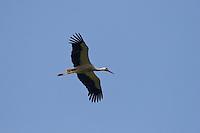 Weißstorch, Weisstorch, Weiß-Storch, Weis-Storch, Storch, im Flug, Flugbild, Ciconia ciconia, White Stork, Cigogne blanche