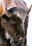 American bison coated with frozen geyser mist, Yellowstone National Park, Wyoming, USA
