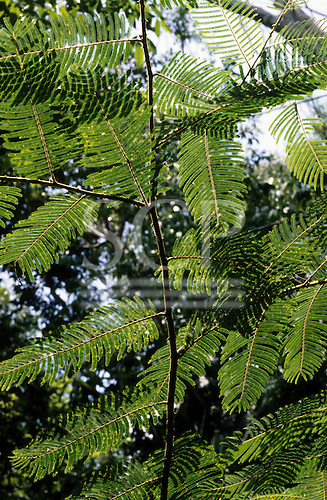 Amazon, Brazil. Green filigree design of leaves of a forest tree on a branch. Acre.