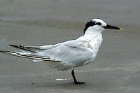 Adult sandwich tern in non-breeding plumage