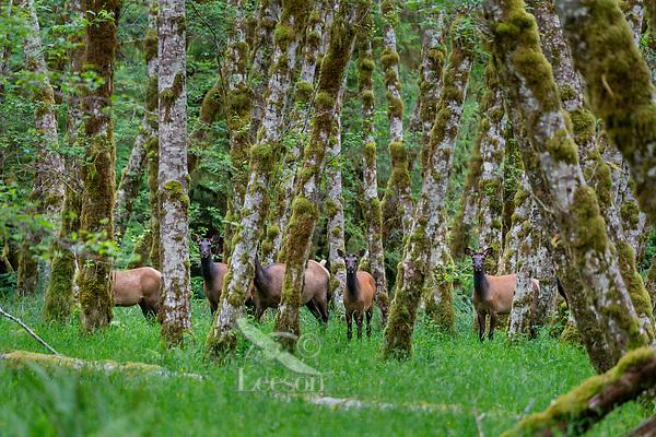 Roosevelt Elk (Cervus elaphus roosevelti) cows in red alder tree bottom in Olympic National Park temperate rain forest, WA.  June.