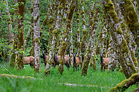 Roosevelt Elk (Cervus elaphus roosevelti) cows in red alder tree bottom in Olympic National Park temperate rain forest, WA.  June.