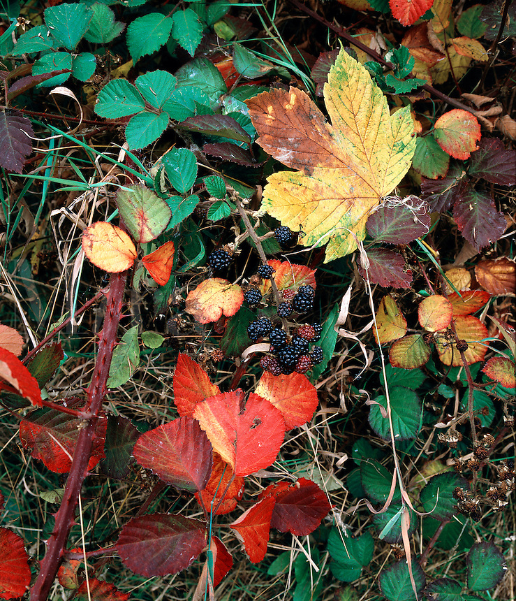 Leaves and berries in an autumn hedgerow, Wenlock Edge, Shropshire, England.