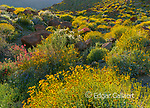 Brittlebush, Glorietta Canyon, Anza-Borrego Desert State Park, California