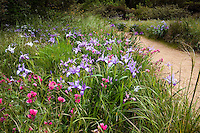 Iris and Sidalcea wildflowers in spring Meadow garden, Menzies California native plant garden