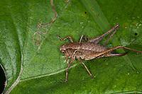 Gewöhnliche Strauchschrecke, Weibchen, Pholidoptera griseoaptera, Thamnotrizon cinereus, dark bushcricket