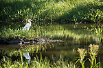 Damon, Texas; a great egret standing on a small island in the slough, foraging for its breakfast in early morning dappled light