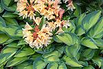 Vashon-Maury Island, WA: 'June' hosta and flowering rhododendron