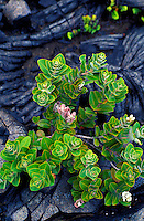 Young ohia trees with lehua blossoms sprout from newly hardened lava at Hawaii Volcanoes National Park on the Big Island of Hawaii.