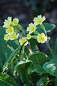 False oxlip or Primula veris x vulgaris (P. x polyantha), East Sussex, early April.