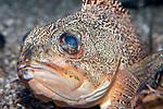 Blackbelly Rosefish close-up