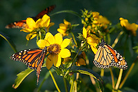Viceroy butterflies and Monarch butterfly on nodding bur marigold, Fred Maytag II Family Preserve, Muscatine County, Iowa