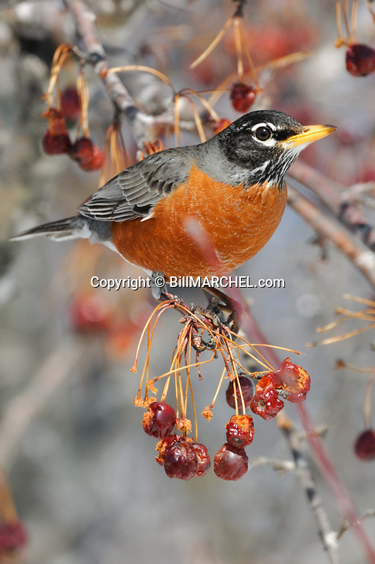 00980-019.15 American Robin pauses while feeding on crab apples.  Landscape, orange, bird, birding, fruit, food, eat, survive.