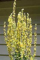 Verbascum Christo's Yellow Lightning