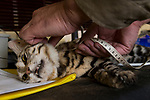 Black-footed Cat (Felis nigripes) biologist, Alex Sliwa, measuring male during collaring, Benfontein Nature Reserve, South Africa