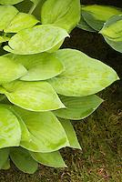 Hosta Gold Edger small yellow foliage plant