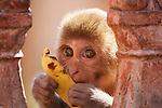 Rhesus Macaques, Galta Monkey Temple, Jaipur