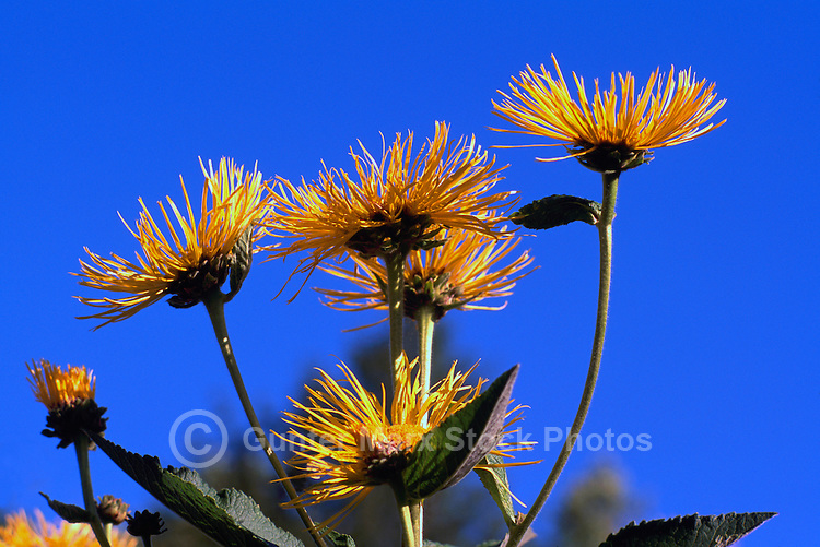 Inula hookeri blooming in Stanley Park, Vancouver, BC, British Columbia, Canada