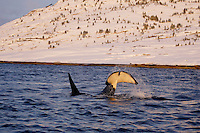 Adult male killer whale tail slapping herring just under sea surface. Tysfjord, Arctic Norway