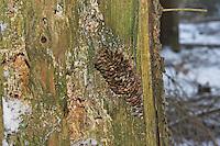 Specht hat Fichtenzapfen, Zapfen in Stamm verkeilt, um die Früchtchen fressen zu können, Spechtschmiede, Specht-Schmiede, pine-cone wedged in an anvil, smithy, workshop, woodpecker anvil