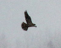 Gyrfalcon in pursuit of a gull in a snow squall