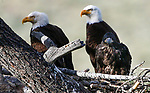 Bald eagles nest near Markleeville, Ca., on Tuesday, July 2, 2019.<br /> Photo by Cathleen Allison/Nevada Momentum
