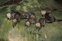 small clawed otter (Asian small clawed otter or oriental small clawed otter), Aonyx cinereus, (c)