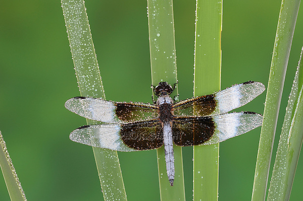 Widow Skimmer (Libellula luctuosa), dew covered male on cattail, Dinero, Lake Corpus Christi, South Texas, USA