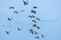 """Flock of  """"Lesser"""" Sandhill Cranes (Grus canadensis) migrating over Nebraska's Platte River in Spring on their way to breeding grounds in Alaska and Russia. Central Nebraska. March."""