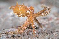Blue-ringed octopus (Hapalochlaena sp.) Lembeh Strait / Indonesia