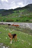 Kaukasischer Hirtenhund (Owtscharka ) mit dem typisch abgeschnittenen Ohrläppchen in der Bergregion Kazbegi. / caucasian shepherd dog (Owtscharka) in the caucasian mountains.