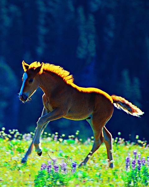 Wild horse colt, Pryor Mountains, Montana/Wyoming.