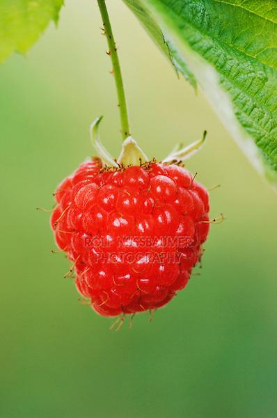 Red Raspberry, Rubus idaeus, fruit, Oberaegeri, Switzerland, August 2006