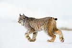 Canada Lynx (Lynx canadensis) female in winter, Manitoba, Canada