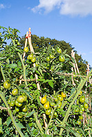 Tomatoes yellow pear type cherry tomato variety staked on trellis growing in vegetable garden, showing stages of vine ripeness from ripe to unripe green