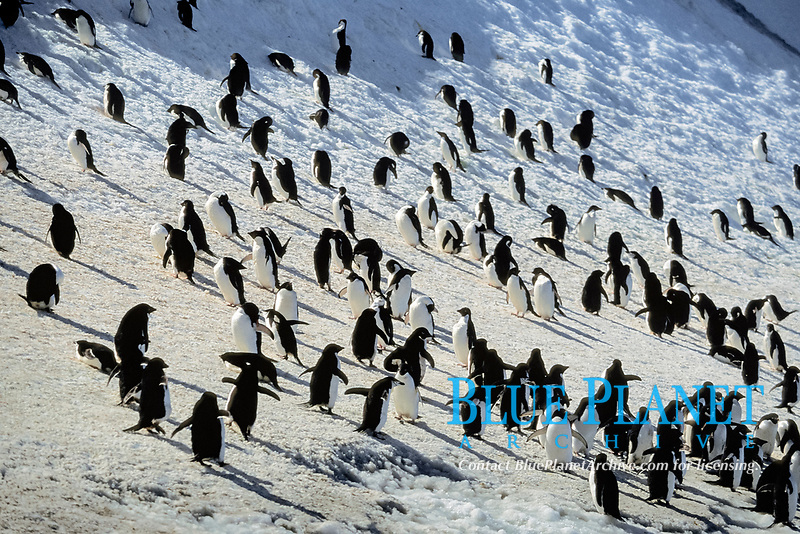 adelie penguins, Pygoscelis adeliae, and some chinstrap penguins, Pygoscelis antarctica, South Orkney Island, Antarctica