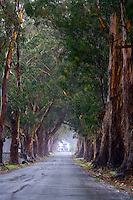 A fine art nature landscape of a country road leading to an iconic white farmhouse representing home.  The road is lined with a grove of rich brown and dark green large eucalyptus trees which create a canopy over the road while misted with light rain on an overcast late afternoon.