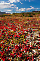 Autumn colors of the alpine bearberry over the tundra and taiga landscape of Denali National Park, Alaska Range mountains in the distance, Interior, Alaska.