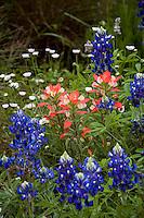 Wildflower meadow garden with Indian Paintbrush (Castilleja indivisa) Bluebonnet lupines (Lupinus texensis) and Fleabane (Erigeron modestus)