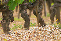 A row of old vines in the typical gravely sandy Graves soil Chateau Bouscaut Cru Classe Cadaujac Graves Pessac Leognan Bordeaux Gironde Aquitaine France