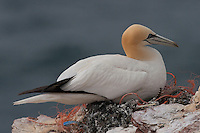 Basstölpel, Baßtölpel, auf Nest am Vogelfelsen Helgoland, Tölpel, Sula bassana, Morus bassanus, northern gannet