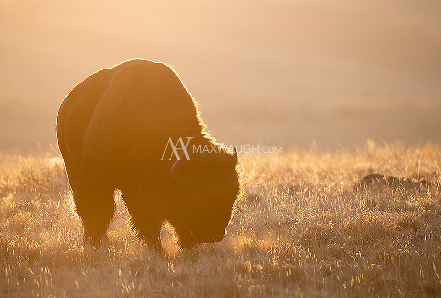 A bison grazes at sunrise. The animal refused to lift its head during the period of best light!